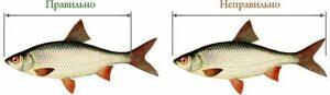 Минприроды ЛНР сообщило минимальные размеры разрешенных к вылову в водоемах рыб и раков