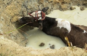 Bryanka firefighters rescue 350-kg cow from drain pit