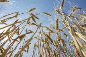 Аграрии ЛНР убрали 27% ранних зерновых и зернобобовых культур – Минсельхоз